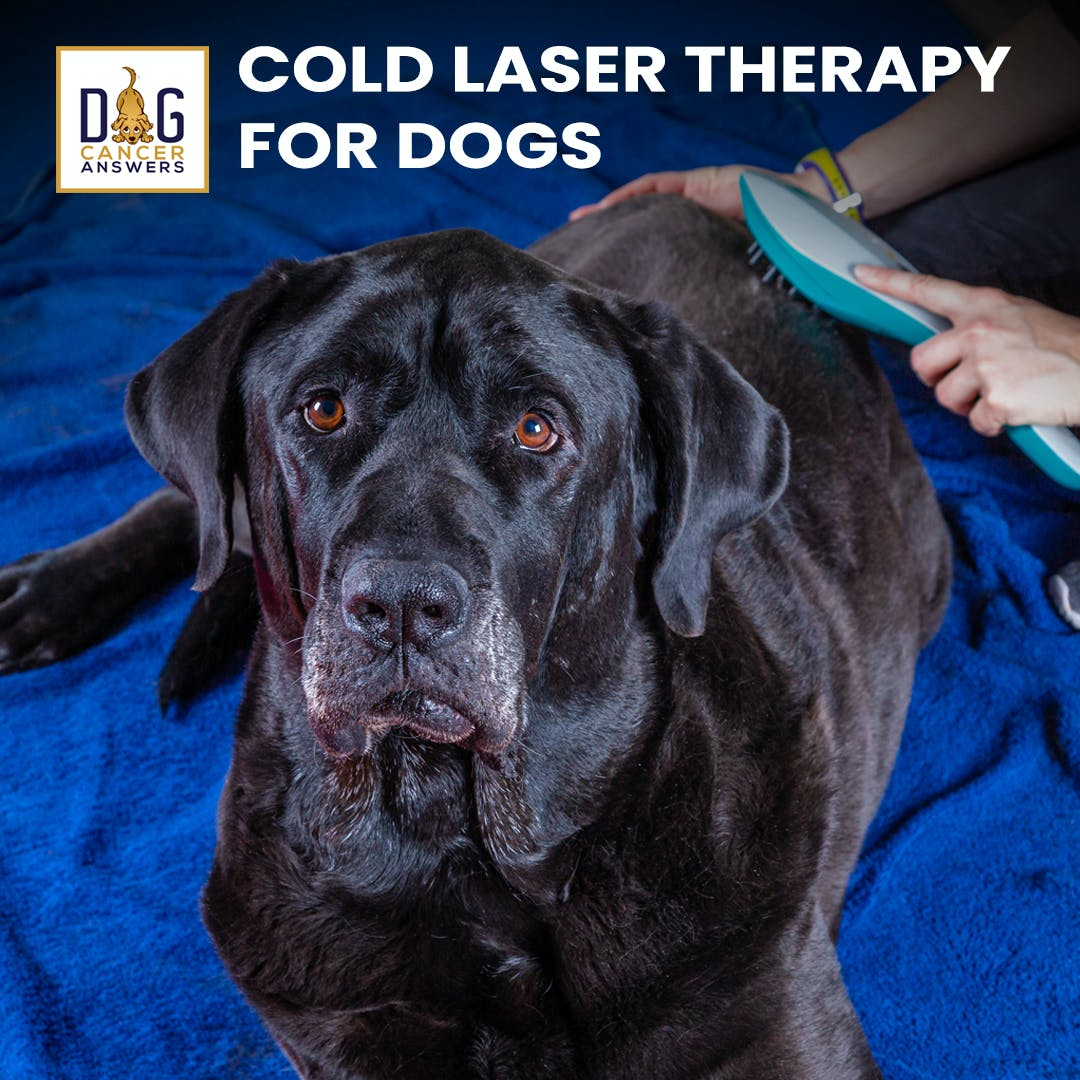 Cold Laser Therapy for Dogs: Does It Work? | Dr. Dressler Q&A